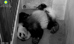 Fluffy, snoozy Bei Bei...../xv639.png (heights.18145) Tags: beibei smithsoniansnationalzoo ccncby fluffy panda bear
