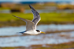 Crested Tern (M Hooper) Tags: longreef crestedtern birdinflight sydney
