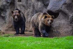 Zoolgico La Aurora (Marlon Corado GT) Tags: zoo zoolgico zoolgicolaaurora guatemala guatemalacity ciudaddeguatemala osos pardos osospardos bear brownbear