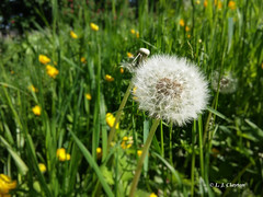 Dandelion (Laurie's Lens) Tags: dandelion clock wishes wind seeds butercups grass nature sunshine vibrant colours