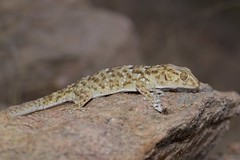Turner's Thick-toed Gecko  (Chondrodactylus turneri) (piazzi1969) Tags: turnersthicktoedgecko geckos lizards reptiles herps angola africa afrika reptilien wildlife canon eos 5d markiii ef100mm chondrodactylusturneri