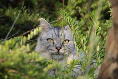 """Wie hast du mich gefunden?"" (Vasquezz) Tags: katze cat sibirischekatze sibirische sibirisch siberiancat siberian waldkatze forestcat сибирская кошка сибирскаякошка fussel coth alittlebeauty coth5 sunrays5 kittysuperstar bestofcats catmoments fantasticnature kittyschoice"