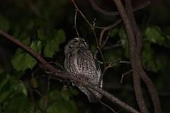Eastern-screech Owl (kidbirder) Tags: