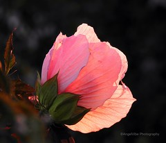 Backlit Hibiscus snapped during the golden hour (AngelVibePhotography) Tags: garden blossoms nikon macro flower hibiscus blossom nikonp900 nature closeup flowers northcarolina outdoor photography goldenhour pink