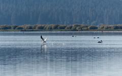 American white pelican (Chicharrnes) Tags: americanwhitepelican