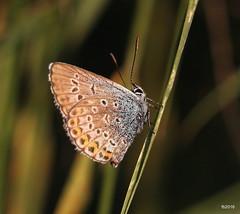 Polyommatus Dorylas (fejesb) Tags: summer
