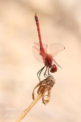 Trithemis arteriosa (aetven) Tags: aetven grancanaria canarias canon españa spain dragonfly libélula