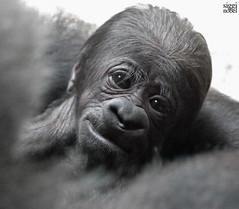 Shiras Baby (siggi nobel) Tags: zoo frankfurt gorilla shira baby