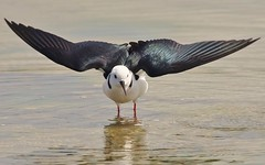 Black-Winged Stilt (oliverred) Tags: stilts