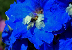 Funny, You Don't Look Blue-ish (oybay) Tags: blueandwhite flower flora blumen fiori macro upclose nature natural blue bleu blueflower unusual loganutah logan utah shadow closeup digitalart blossom petals captureone bloom color outdoor