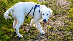 Charlie 19.5 weeks (Mark Rainbird) Tags: canon charlie dog powershots100 puppy retriever uk ufton uftonnervet england unitedkingdom