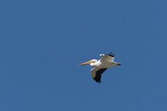DSC_0234.jpg American White Pelican, Struve Slough (ldjaffe) Tags: americanwhitepelican struveslough