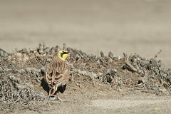 Alouette hausse-col / Horned Lark (alain.maire) Tags: oiseau bird alaudidae eremophilaalpestris alouettehaussecol hornedlark nature quebec canada