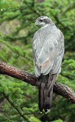 Northern Goshawk (Karen_Chappell) Tags: bird nature goshawk salmoniernaturepark newfoundland nfld grey green bokeh hawk canada avalonpeninsula atlanticcanada