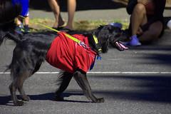 Dog Wearing T-Shirt (swong95765) Tags: dog parade clothes tshirt breed cute animal canine