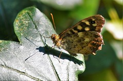 Speckled Wood (dlanor smada) Tags: butterflies speckledwood aylesbury bucks