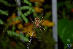 Spider of garden (Lucian Crispim) Tags: aranha spider inseto animal