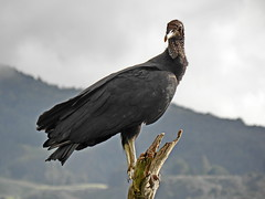 Gallinazo / Black vulture (jjrestrepoa (busy)) Tags: bird colombia ave co chulo blackvulture zopilote antioquia birdwatcher cathartidae explored gallinazo belmira coragypsatratusbrasiliensis thewonderfulworldofbirds