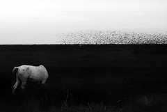 IMGP6726-stavrosstam (stavrosstam) Tags: bw horse birds ldlnoir
