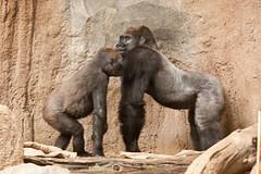 2012-10-24-11h13m31.272P9568 (A.J. Haverkamp) Tags: germany zoo gorilla leipzig dierentuin westelijkelaaglandgorilla canonef70200mmf28lisusmlens pobzurichswitzerland dob23031995 httpwwwzooleipzigde abeeku dob05051999 pobrotterdamthenetherlandsviringika