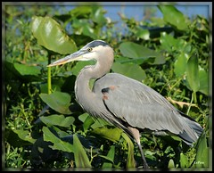 Heron (bill.lepere) Tags: lake heron florida wildlife lakeland birdwatching parker novaphoto blepere