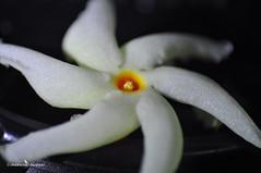 Macro of Sheuly / Shefali / Nyctanthes arbor-tristis (Night-flowering Jasmine) (SnapUnLtd) Tags: macro reverse shefali sheuli 1855vr
