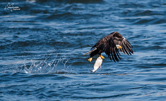 Conowingo Eagle (*~ Nature's Gifts Captured  ~*) Tags: autumn fish nature water birds nikon eagle dam wildlife flight maryland catch tami raptors conowingo specanimal d300s naturesgiftscaptured hrycak