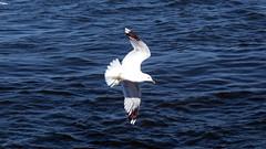 Mve im Sturzflug (Jan Bernek jr.) Tags: strand meer sommer natur blau sylt kontrast weiss schwarz watt tier vogel fhr mve wattenmeer amrum sturzflug