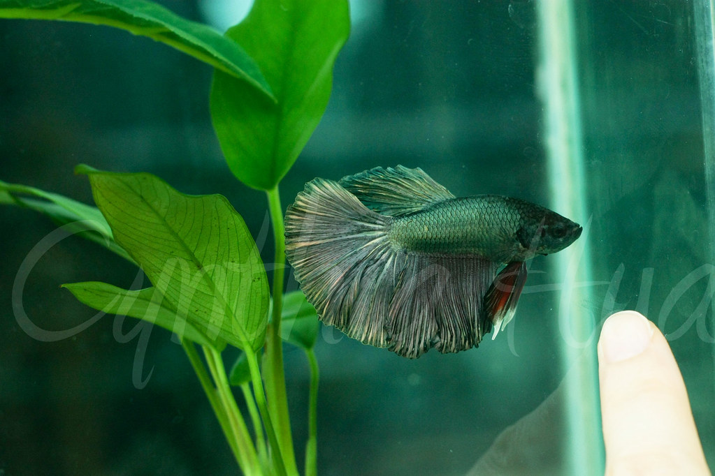 The world 39 s most recently posted photos of betta and for Largest betta fish