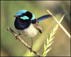 Superb Fairy Wren (co2friendly) Tags: detail nature australia crisp fairy nsw wren albury fairywren superbfairywren goldstaraward co2friendly