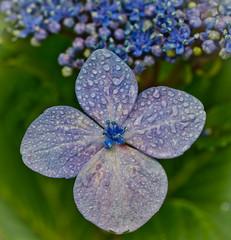 Rain can be a nice thing sometime's. (Omygodtom) Tags: blue autumn macro green nature rain weather oregon garden nikon bokeh tamron