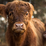Highland Cattle thumbnail
