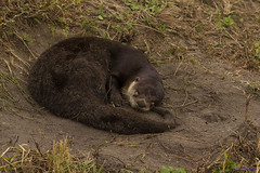 01- Otter Sleeping - What is this clicking sound (Shedraway Photos) Tags: sleeping fur gold paw wake dragon hand florida photos sleep award story nails tired otto trophy click waking waving drama discovery wakingup lutfi tootired vierra wavinghand mywinners goldenbee artforeveryone shieldofexcellence flickraward camerasound ottosleeping clickthecamera artofimages thewowgallery shedraway lshedra57 neatstory ottoinvierra ottofur floridaotto ottosighting