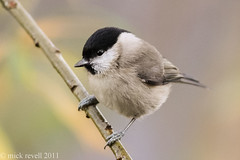 Marsh tit. (mick revell) Tags: freedomtosoarlevel1birdphotosonly freedomtosoarlevel2birdphotosonly freedomtosoarlevel2birdsonly