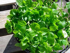 Chickweed (Stellaria) for the Kitchen