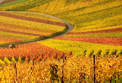 Curve in Autumn Vineyards (Habub3) Tags: park street travel autumn people art fall texture nature colors lines germany garden landscape deutschland reisen nikon europa europe pattern stuttgart kunst urlaub herbst natur vine vineyards curve landschaft vacanze 2012 wein farben kurve d300 weinberge beutelsbach habub3 mygearandme holidac