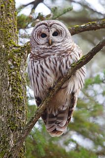 Barred Owl 4, Ottawa, Canada