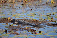 Gator sighting, gator sighting, gator sighting! (vacationer1901) Tags: florida alligator greatblueheron whiteibis greategret snowyegret tricoloredheron anhinga shorebirds stmarksnationalwildliferefuge commonmoorhen redheadduck queenbutterfly glossyibiswoodstork