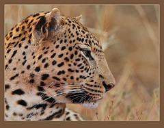 Cool for cats! (best in original) (Rainbirder) Tags: africanleopard pantherapardus tsavowest pantheraparduspardus blinkagain bestofblinkwinners blinksuperstars rainbirder
