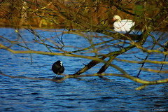 Coot 2 (Everetts Imagery) Tags: trees lake water swan coot aquadrome