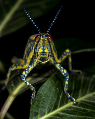 Red Eyes look the Other way.... (Proto1138) Tags: africa red animals yellow eyes hand grasshopper antenna locus djibouti