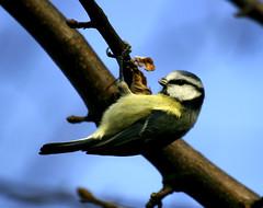 """Hanging On"" (Robin Bain) Tags: tits bluetit britishbirds robinbain"