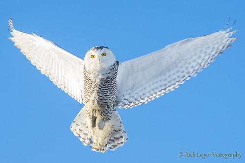 Snowy Owl (Bubo scandiacus) (rickleger) zeiss sony ngc flight alpha slt snowyowl buboscandiacus a99 sal135f18z