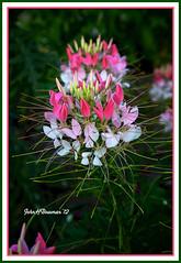 Spider Flower (John H Bowman) Tags: flowers june gardens virginia williamsburg 2012 unknownflower canon241054l colonialwilliiamsburg june2012 colonialnurserygarden cwgardens