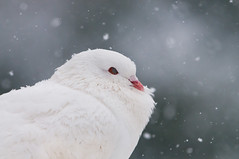 Snow White (Lucky Lucas) Tags: winter white cold bird nature eyes bokeh dove wildlife beak feathers chilly snowing tuin wit pidgeon vogel naturephotography d300 whitedove 500mmf4gvr