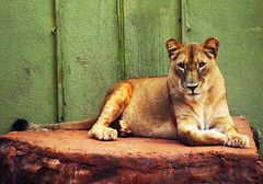All Hail the Queen (osvaldoeaf) Tags: africa wild brazil cute nature animals brasil fauna cat mammal zoo feline lion beast cerrado savannah lioness goinia gois