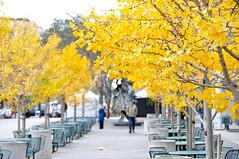 Early Fall Morning (J@photo) Tags: sanfrancisco fallleaves fall autumnleaves autumncolors embarcadero yellowtrees fallmorning