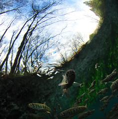 Curiosity (Fish as art) Tags: pacificcoast saumon coho salmonfry cosewic cohosalmon salmonrivers salmonidae salmonids salmonconservation cohosmolts underwatercohosalmonsmolt salmonsmolt interiorfraserrivercohosalmon wildsalmonpolicy aquaticspeciesatrisk