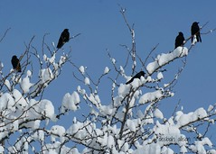 ~ a heavenly murder of crows ~ (^i^heavensdarkangel2) Tags: snow black nature sunshine colorado earth sony together durango murderofcrows againstbluesky strengthinnumbers desbahallison heavensdarkangel2 ihda~desbahallison strengthinbundles crowsonsnowybranches
