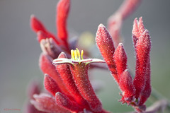 christmas red paws (loobyloo55) Tags: red flower nature canon flora floraandfauna kangaroopaws canoneos400d